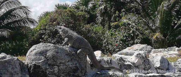lizards of cancun
